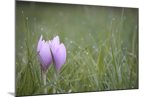 An Autumn Crocus Flower, Colchicum Autumnale, or Meadow Saffron or Naked Lady, in Dewy Grass-Joe Petersburger-Mounted Photographic Print