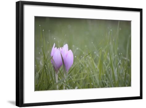 An Autumn Crocus Flower, Colchicum Autumnale, or Meadow Saffron or Naked Lady, in Dewy Grass-Joe Petersburger-Framed Art Print