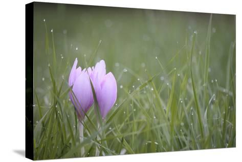 An Autumn Crocus Flower, Colchicum Autumnale, or Meadow Saffron or Naked Lady, in Dewy Grass-Joe Petersburger-Stretched Canvas Print