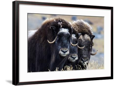 A Trio of Musk Ox Gather Together in Defensive Position on the Tundra Displaying their Horns-Jason Edwards-Framed Art Print