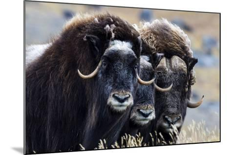 A Trio of Musk Ox Gather Together in Defensive Position on the Tundra Displaying their Horns-Jason Edwards-Mounted Photographic Print