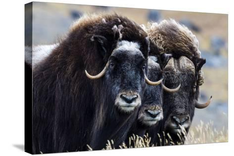 A Trio of Musk Ox Gather Together in Defensive Position on the Tundra Displaying their Horns-Jason Edwards-Stretched Canvas Print