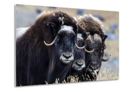 A Trio of Musk Ox Gather Together in Defensive Position on the Tundra Displaying their Horns-Jason Edwards-Metal Print