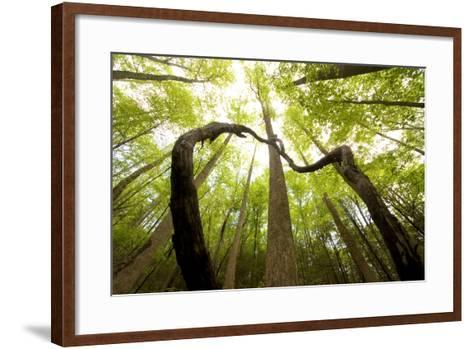 Beech and Tulip Poplar Forest in the North Part of Great Smoky Mountains National Park-Phil Schermeister-Framed Art Print