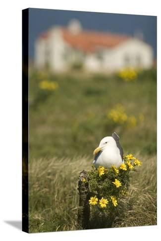 A Western Gull Roosts on a Plant with Yellow Flowers, Anacapa Island, Channel Islands National Park-Phil Schermeister-Stretched Canvas Print