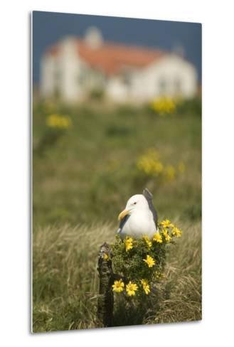 A Western Gull Roosts on a Plant with Yellow Flowers, Anacapa Island, Channel Islands National Park-Phil Schermeister-Metal Print