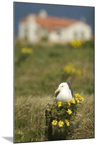 A Western Gull Roosts on a Plant with Yellow Flowers, Anacapa Island, Channel Islands National Park-Phil Schermeister-Mounted Photographic Print