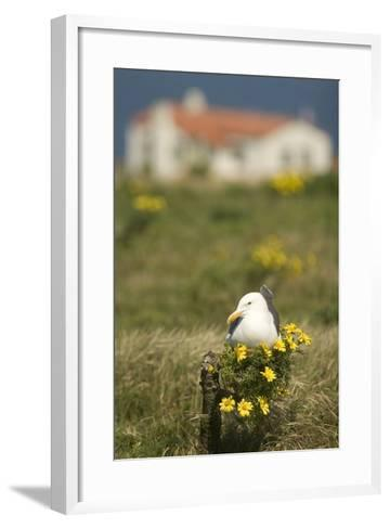 A Western Gull Roosts on a Plant with Yellow Flowers, Anacapa Island, Channel Islands National Park-Phil Schermeister-Framed Art Print