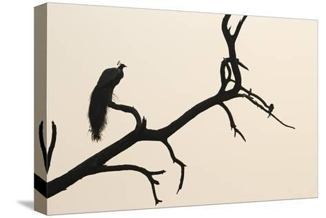 An Indian Peacock in Keoladeo National Park, Rajasthan, India-Macduff Everton-Stretched Canvas Print