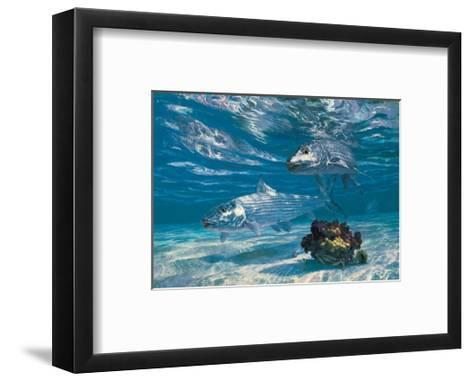 Two Bonefish and Coral Clump with Crab at Chub Bay-Stanley Meltzoff-Framed Art Print