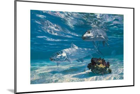Two Bonefish and Coral Clump with Crab at Chub Bay-Stanley Meltzoff-Mounted Giclee Print