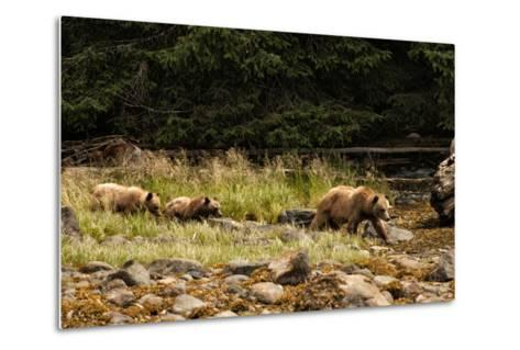 A Grizzly Bear Family Foraging Among Rocks at Low Tide-Cesare Naldi-Metal Print