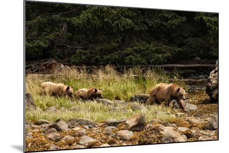A Grizzly Bear Family Foraging Among Rocks at Low Tide-Cesare Naldi-Mounted Photographic Print