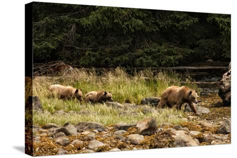 A Grizzly Bear Family Foraging Among Rocks at Low Tide-Cesare Naldi-Stretched Canvas Print
