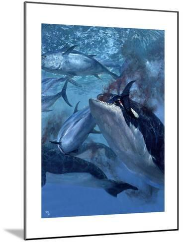 Orca and Tuna, 1973: a School of Giant Bluefin Tuna Becomes Food for a Pod of Killer Whales-Stanley Meltzoff-Mounted Giclee Print