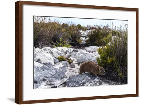 A Cape Hyrax Moving Through the Fynbos on the Summit of Table Mountain-Jason Edwards-Framed Art Print