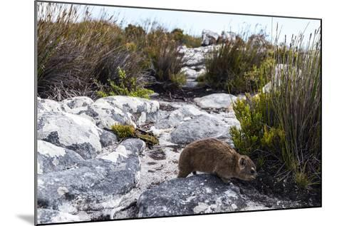 A Cape Hyrax Moving Through the Fynbos on the Summit of Table Mountain-Jason Edwards-Mounted Photographic Print