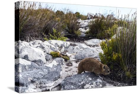 A Cape Hyrax Moving Through the Fynbos on the Summit of Table Mountain-Jason Edwards-Stretched Canvas Print