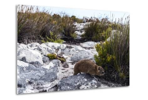 A Cape Hyrax Moving Through the Fynbos on the Summit of Table Mountain-Jason Edwards-Metal Print