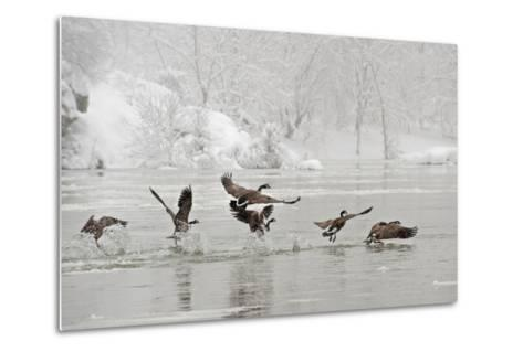 Canada Geese Taking Off from the Potomac River in a Snowy Landscape-Irene Owsley-Metal Print