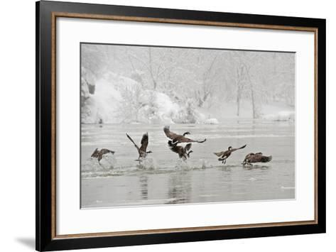 Canada Geese Taking Off from the Potomac River in a Snowy Landscape-Irene Owsley-Framed Art Print