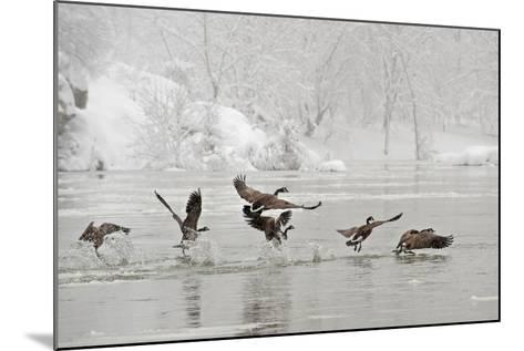 Canada Geese Taking Off from the Potomac River in a Snowy Landscape-Irene Owsley-Mounted Photographic Print