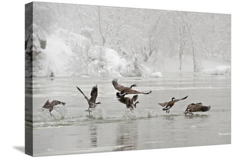 Canada Geese Taking Off from the Potomac River in a Snowy Landscape-Irene Owsley-Stretched Canvas Print