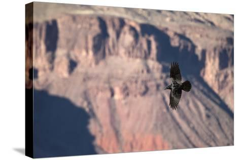 A Raven in Flight on a Thermal Above the South Rim of the Grand Canyon-Bill Hatcher-Stretched Canvas Print