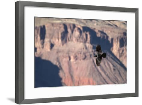 A Raven in Flight on a Thermal Above the South Rim of the Grand Canyon-Bill Hatcher-Framed Art Print