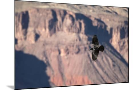 A Raven in Flight on a Thermal Above the South Rim of the Grand Canyon-Bill Hatcher-Mounted Photographic Print