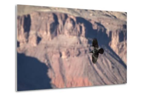 A Raven in Flight on a Thermal Above the South Rim of the Grand Canyon-Bill Hatcher-Metal Print