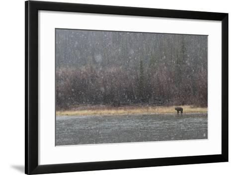 A Grizzly Bear Fishes at the Fishing Branch River in the Rain-Cristina Mittermeier-Framed Art Print