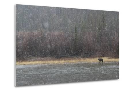 A Grizzly Bear Fishes at the Fishing Branch River in the Rain-Cristina Mittermeier-Metal Print