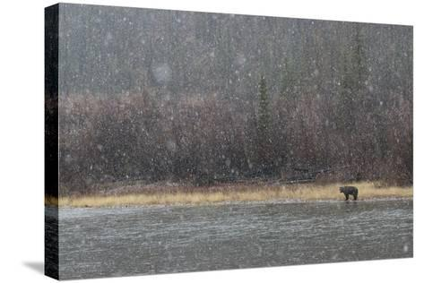 A Grizzly Bear Fishes at the Fishing Branch River in the Rain-Cristina Mittermeier-Stretched Canvas Print
