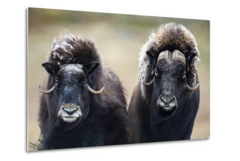 A Pair of Musk Ox with a Huge Shaggy Coats Stare at the Camera with Sharp Pointed Horns-Jason Edwards-Metal Print