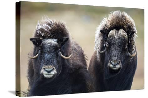 A Pair of Musk Ox with a Huge Shaggy Coats Stare at the Camera with Sharp Pointed Horns-Jason Edwards-Stretched Canvas Print