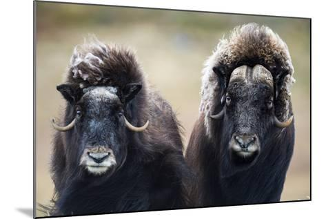 A Pair of Musk Ox with a Huge Shaggy Coats Stare at the Camera with Sharp Pointed Horns-Jason Edwards-Mounted Photographic Print