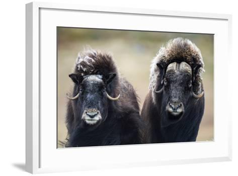 A Pair of Musk Ox with a Huge Shaggy Coats Stare at the Camera with Sharp Pointed Horns-Jason Edwards-Framed Art Print