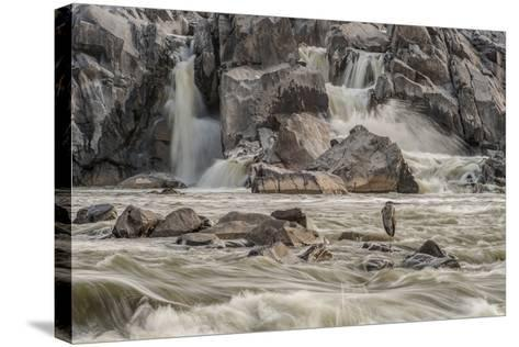 A Great Blue Heron, Ardea Herodias, on a Rock in the Swift Moving Waters of Great Falls-Irene Owsley-Stretched Canvas Print