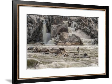A Great Blue Heron, Ardea Herodias, on a Rock in the Swift Moving Waters of Great Falls-Irene Owsley-Framed Art Print