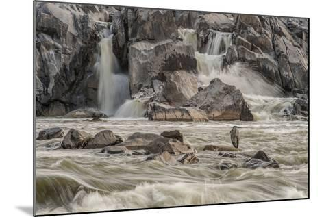 A Great Blue Heron, Ardea Herodias, on a Rock in the Swift Moving Waters of Great Falls-Irene Owsley-Mounted Photographic Print