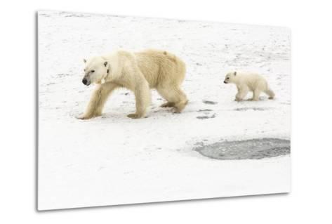 A Polar Bear, Ursus Maritimus, and Her Cub. the Mother Bear Wears a Radio Tracking Collar-Kent Kobersteen-Metal Print