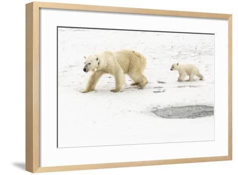 A Polar Bear, Ursus Maritimus, and Her Cub. the Mother Bear Wears a Radio Tracking Collar-Kent Kobersteen-Framed Art Print