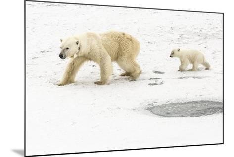 A Polar Bear, Ursus Maritimus, and Her Cub. the Mother Bear Wears a Radio Tracking Collar-Kent Kobersteen-Mounted Photographic Print