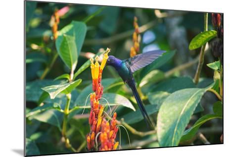 A Swallow-Tailed Hummingbird, Eupetomena Macroura, Mid Flight Feeding from a Flower-Alex Saberi-Mounted Photographic Print