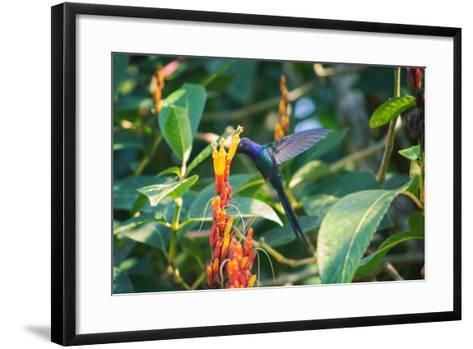 A Swallow-Tailed Hummingbird, Eupetomena Macroura, Mid Flight Feeding from a Flower-Alex Saberi-Framed Art Print