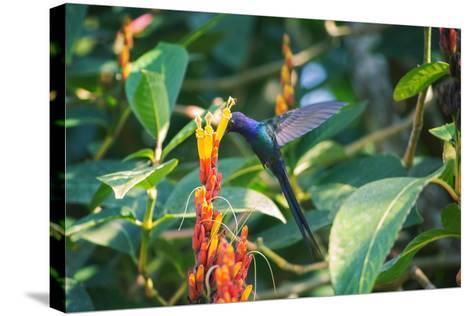 A Swallow-Tailed Hummingbird, Eupetomena Macroura, Mid Flight Feeding from a Flower-Alex Saberi-Stretched Canvas Print