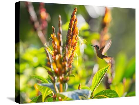 Brazilian Ruby Hummingbird, Clytolaema Rubricauda, Mid Flight Feeding from a Flower-Alex Saberi-Stretched Canvas Print