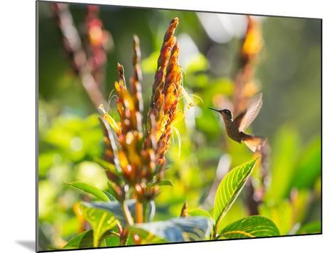 Brazilian Ruby Hummingbird, Clytolaema Rubricauda, Mid Flight Feeding from a Flower-Alex Saberi-Mounted Photographic Print