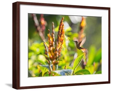 Brazilian Ruby Hummingbird, Clytolaema Rubricauda, Mid Flight Feeding from a Flower-Alex Saberi-Framed Art Print